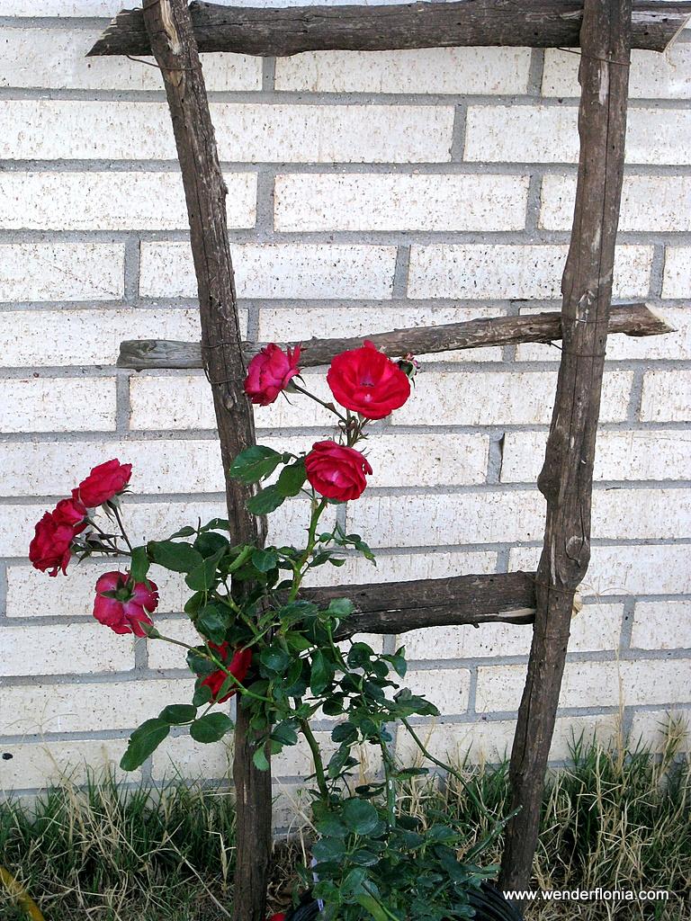 Climbing rose wenderfloniations - Climbing rose trellis ...
