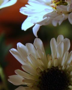 daisies 002